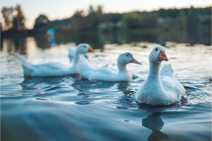 A flock of white Domestic Geese