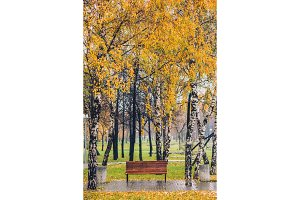 Autumn yellow tree birch grove among