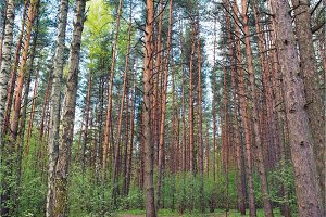 green pine forest with low