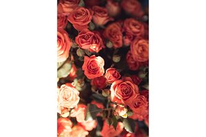 Natural red pink roses flower