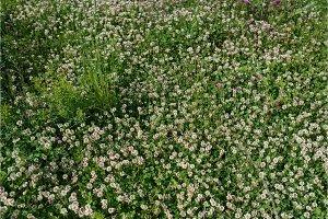 white clover wild meadow flowers in