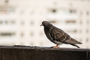 Proud gray pigeon on a balcony over