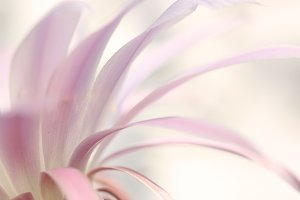 Soft pink petals background