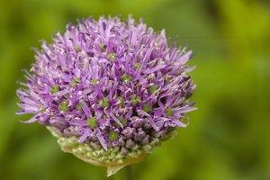 Onion flower in bud