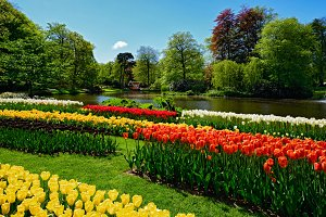 Blooming tulips flowerbed in