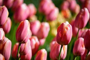 Blooming tulips flowerbed in
