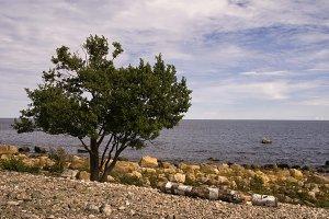 Tree on the Bothnian coast