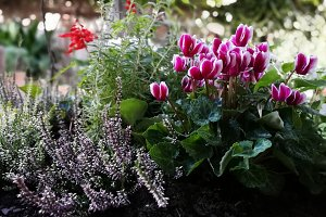 fuchsia cyclamen and other plants
