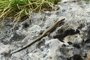Lizard on stone close-up