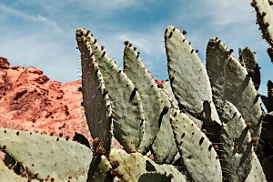 Giant Prickly Pear Cactus At Valley