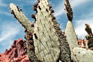 Closeup Of Prickly Pear Cactus