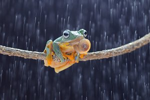 flying frog, frogs with snails