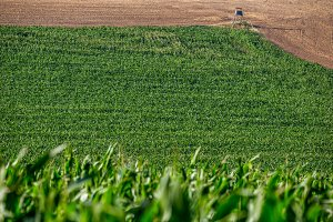 A green corn field and a harvested f