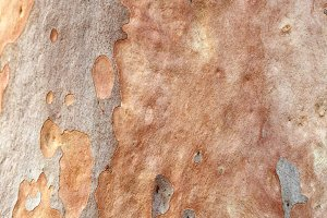 Bark of an Eucalyptus