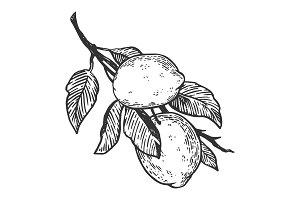 lemon citrus engraving vector