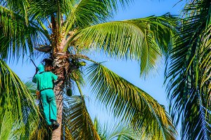 Professional climber on a palm tree
