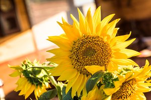 Yellow summer sunflower