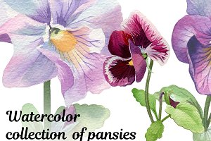 Watercolor collection of pansies