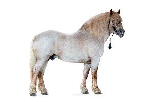 soviet draft horse isolated on white