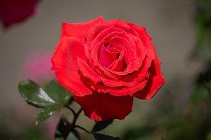 red rose flower in a garden