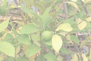 Lemon picture, soft faded tone backg