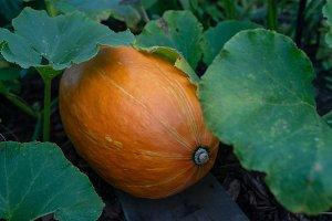 photo of a squash, pumpkin