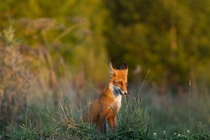 Cute young fox cub on the grass back