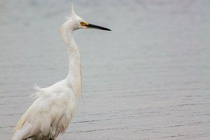 White Heron #1