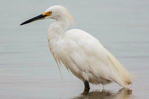 White Heron #2