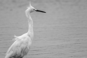 White Heron Black and White #1