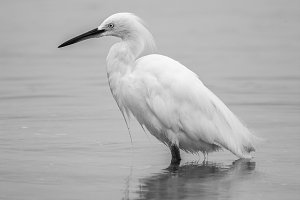 White Heron Black And White #2