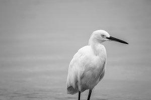 White Heron Black And White #3