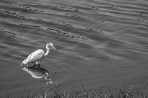 White Heron Black And White #4