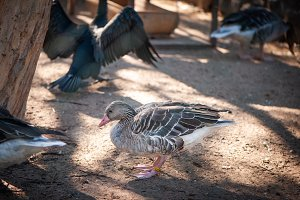 Gray goose on a poultry farm, toned