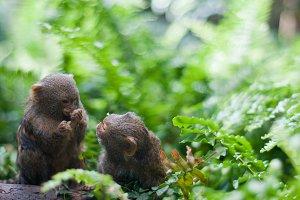 Pair of pygmy monkeys sitting in