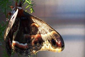 Butterfly/moth closeup