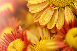 Yellow and red flower backgrounds.