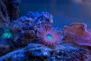 Anemones. Blue Corals in a marine