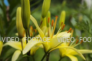 Yellow lilies, close up.