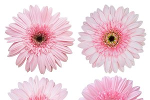 set of pink gerbera flower