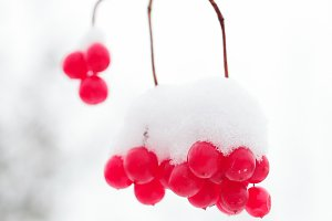 Frozen berries on the branches in th
