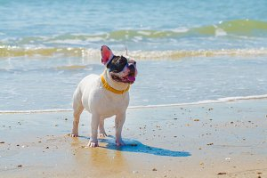 french bulldog stand on the sand bea