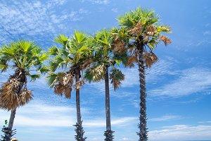Palm trees against blue sky Palm tre