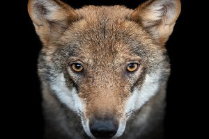 Close up portrait of a grey wolf (Ca