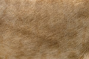 Closeup real lion fur texture