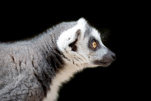 Lemur portrait on black background