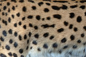 Serval skin texture for background