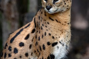 Young serval cat (Felis serval)