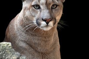 Portrait of a cougar, mountain lion,
