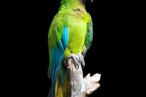 Parrot bird (Severe Macaw) sitting o